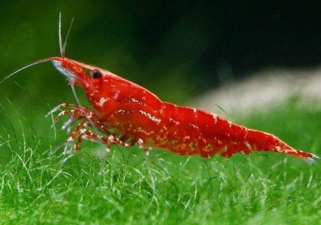 Krewetki Red Cherry latwa krewetka na glony w akwarium GRATIS MECH !