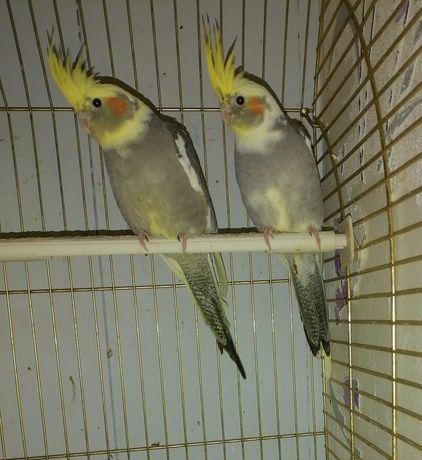 mam do sprzedania papugi nimfy