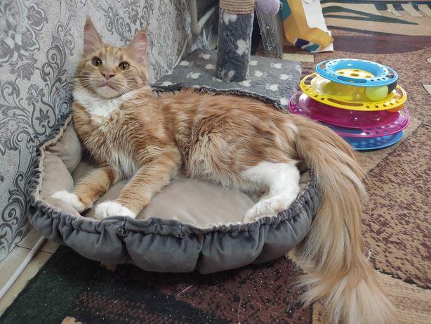 Мейн Кун котята рыжики