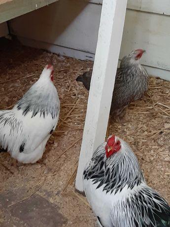 Wyandotte miniaturowa kolumbia kurczęta , jaja lęgowe