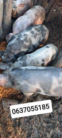 Продам подрощенных свиней