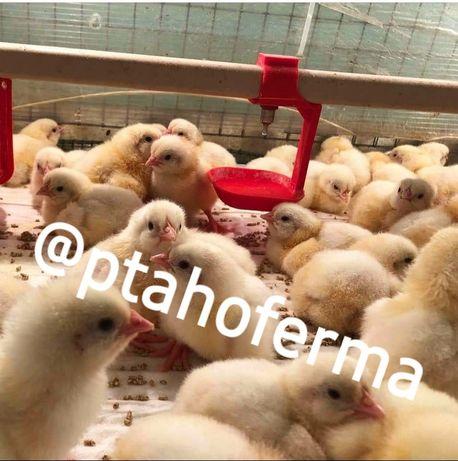 Мулард Бройлер Кобб 500 Доминант курочки ГУСЯТА индюшата Биг6 цыплята