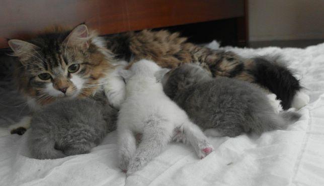 Syberyjskie Kocięta z Rodowodem FPL