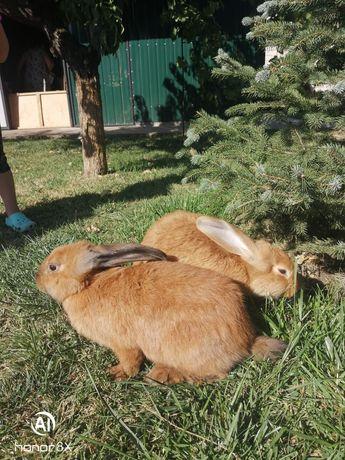 Кролики, Кролі..