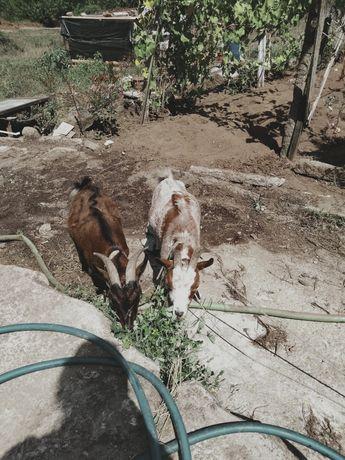 Vendo cabras prenhas