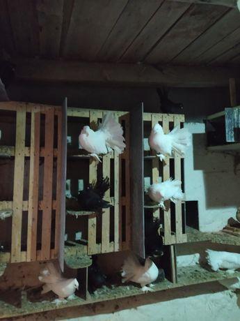Gołębie ozdobne Pawiki indyjskie białe