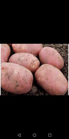 Картопля велика та насiньова