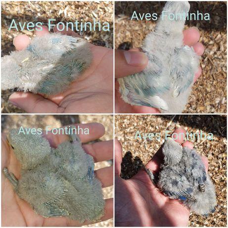 Agapornis Roseicollis para criar á mão/ domesticar