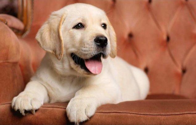Labrador retriever девочка щенки Премиум класса Все Документы