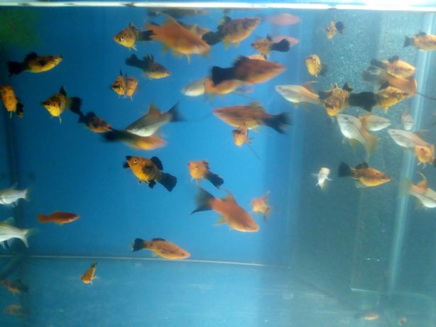 Rybki akwariowe (domowa hodowla ryb akwariowych) GRATISY