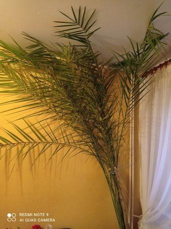 Palma, kwiat doniczkowy