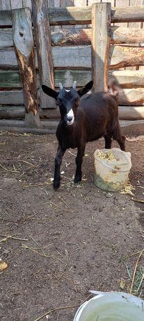 Продам козенят, дійної кози Полтавської породи