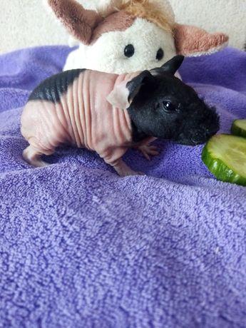 Skinny świnka morska maluszek do rezerwacji