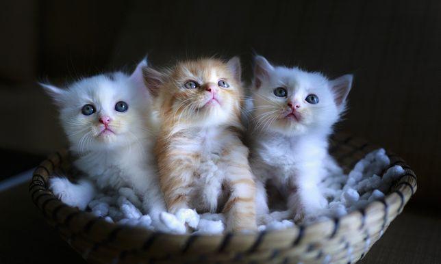 Adoptuję 3-6 miesięcznego kociaka