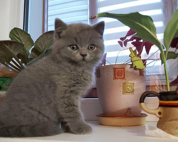 Продам чистокровного Шотландського котика з паспортом та прививкою