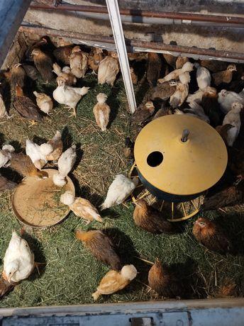 Kurczaki Zielononóżki Czubatki brodata Wielbłądzia wiek od 2 do 8 tyg
