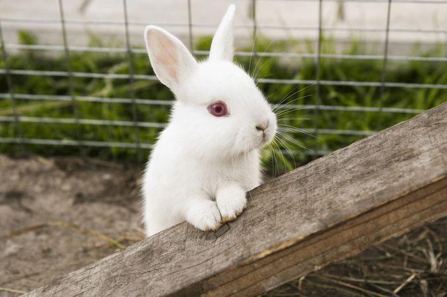 Królik króliczek albinos karzełek