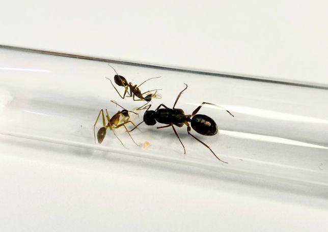 Camponotus mitis Kolonia Mrówek do Hodowli w Formikarium