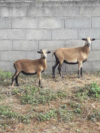 Vendo casal ovelhas dos camaroes