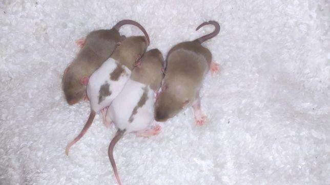 Самі найкращі пацюки дамбо у нас!!!