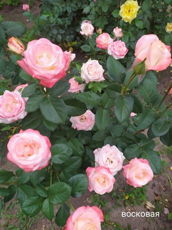 Продаются саженцы роз