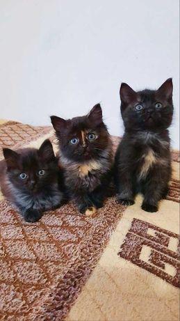 Отдам в добрые руки сибирских котят