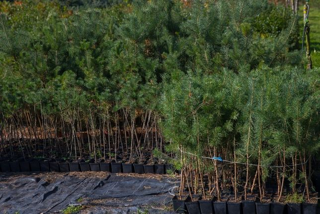 Sosna Pospolita (Pinus Sylvestris), wys. 50-60cm, donica1l