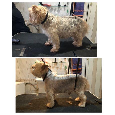 Strzyżenie psów groomer psi fryzjer