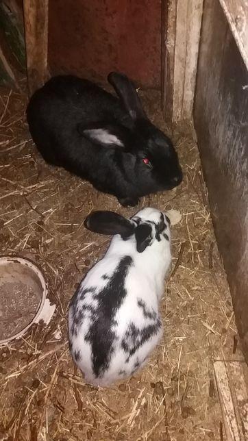 Продам,поменяю, отличных молодых кролей, самцов