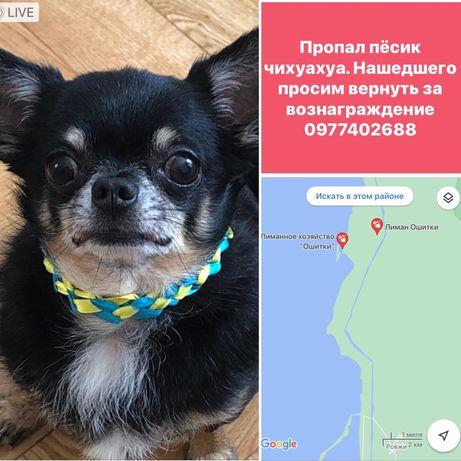 Пропала собака чихуахуа