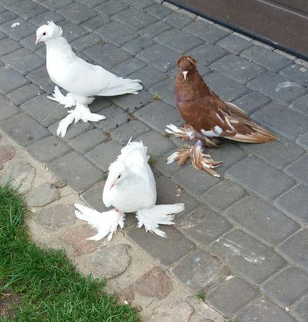 Gołębie olbrzymy węgierskie