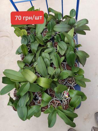Продам орхидеи -отцветашки