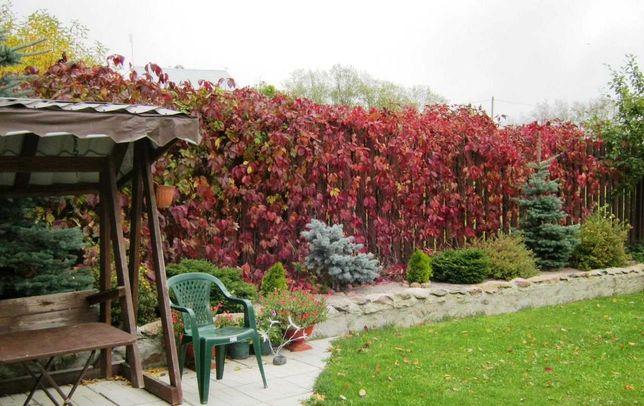 Лианы девичий виноград Вичи кампсис плющ пестролистный хмель дикий