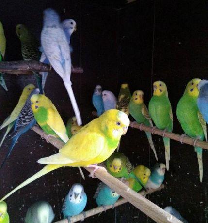 папужки пара с клеткой новой