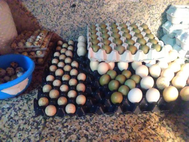 Ovos galados de faisão