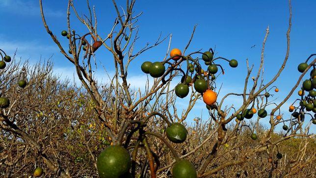 Кратева тапия -семена (Crateva tapia (Garlic-pear tree))