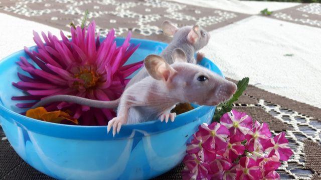 Szczury Szczurki FUZZ i DUMBO FUZZ