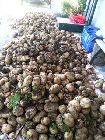 Batatas novas olho de perdiz