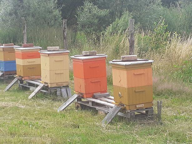 Sprzedam ule wielkopolskie z pszczołami
