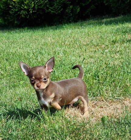 Chihuahua choco tan