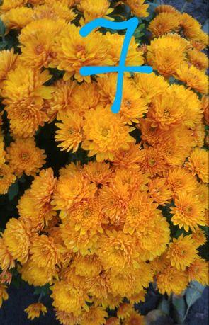 Хризантема мультифлора.Саджанці вкорінені