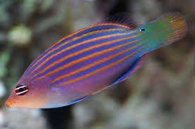 Akwarium morskie - Pseudocheilinus hexataenia