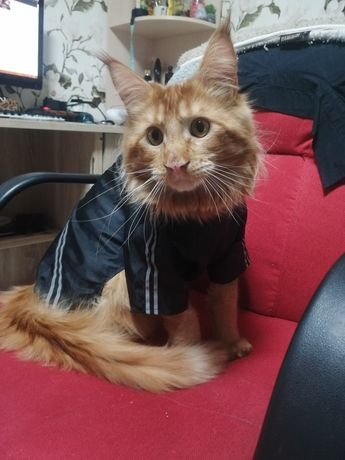 Большой кот Мейн Кун