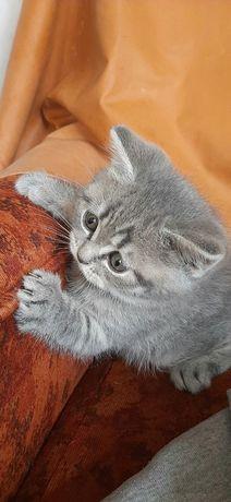 Котенок скоттиш страйт