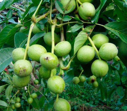 Саджанці грецького горіха Кочерженко. Купити саджанці