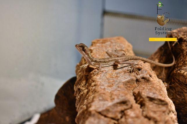 Bazyliszek pręgowany, jaszczurka Jezusa Basiliscus vittatus terrarium