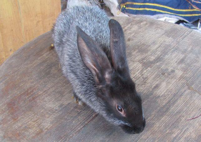 Продам породистых кроликов живым весом