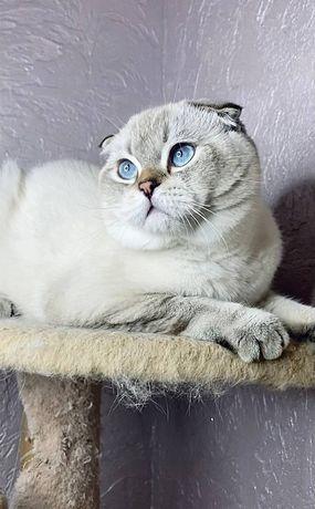 Шотландский котенок от чистокровных родителей