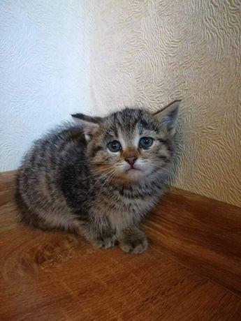 Віддам кошенят метисів сибірської кішки