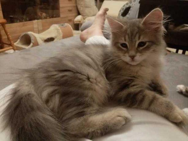 Feliks Kot syberyjski Rodowód WCF niebieski klasycznie pręgowany